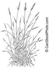 Reed Canary Grass - Phalaris arundinacea