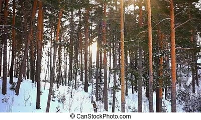Winter sunset in pine and birch forest. Sunlight through trees