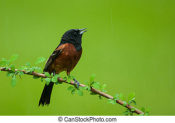 Orchard Oriole perched on a branch.