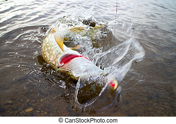 pike were being caught right now fishing - pike fishing big...