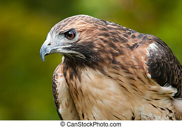 Red-tailed Hawk - Captive Red-tailed Hawk
