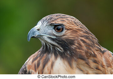 Red-tailed Hawk - Captive Red-tailed Hawk.