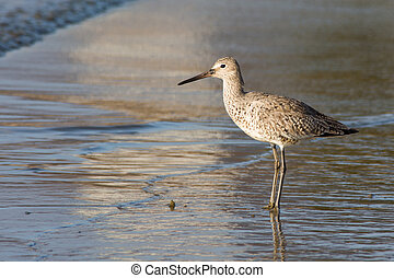 Willet Shorebird feeding on the beach.