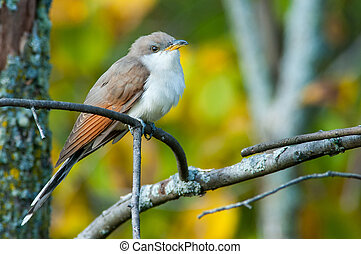 Yellow-billed Cuckoo perched on a branch.
