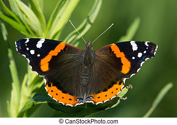 Red Admiral butterfly sunning itself on a plant.