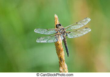 Four-spotted Skimmer Dragonfly perched on a plant.