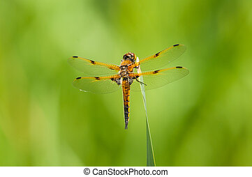 Four-spotted Skimmer Dragonfly perched on a plant