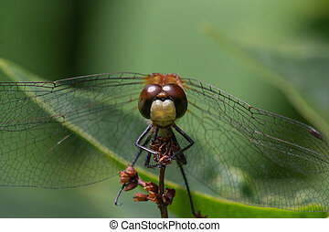 White-faced Meadowhawk Dragonfly - White-faced Meadowhawk...