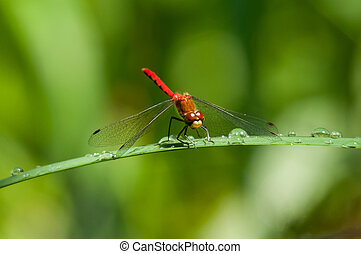 White-faced Meadowhawk perched on a plant.