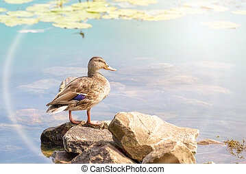 Female Duck Swimming