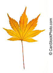 Maple Leaf - A translucent golden Japanese Maple leaf on a...