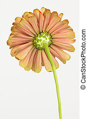 Underside of zinnia flower