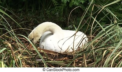 Mute swan cygnus olor breeding + arranging nest - close up,...