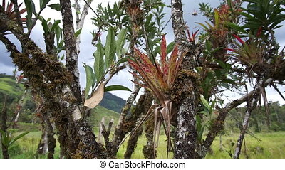 Andes Rainforest Plantlife Pan - Panning shot of symbiotic...