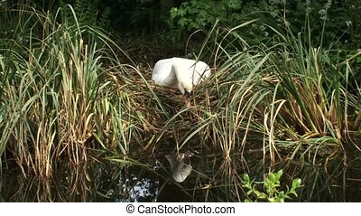 Mute swan cygnus olor breeding + arranging nest - wide shot...