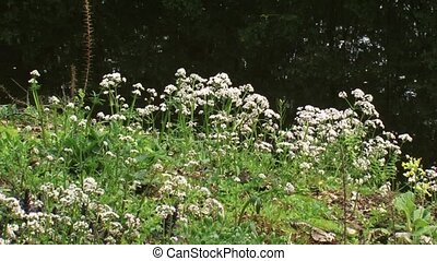 Valeriana dioica blooming in marshland + zoom out wide shot...