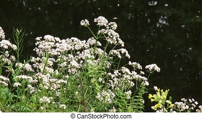 Marsh Valerian blooming in marshland - close up + zoom out -...