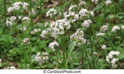 Marsh Valerian blooming in marshland - close up + zoom out...