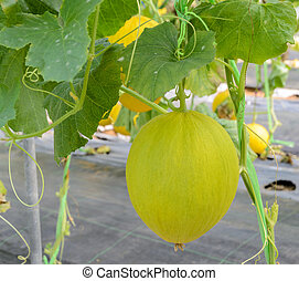 Canary melon fruit on its tree - Canary melon or Cantaloupe...