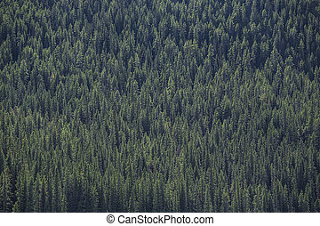 Evergreen Forest
