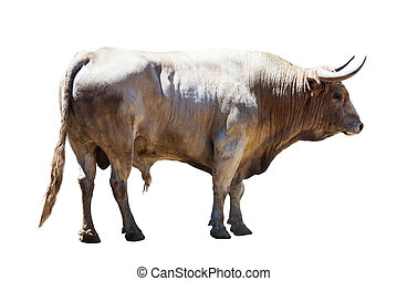 Standing grey bull, isolated over white background