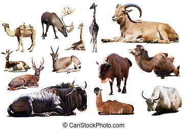 sitting blue wildebeest and other Artiodactyla mammal...