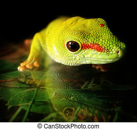 madagascar giant day gecko - a healthy adult madagascar...