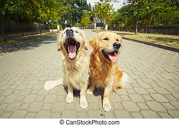 Two golden retriever dogs on the old road.