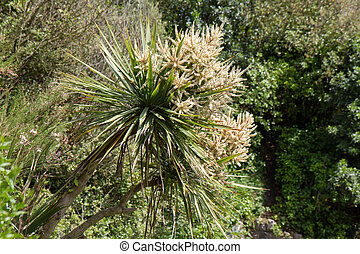 Palm tree - cordyline australis growing in UK