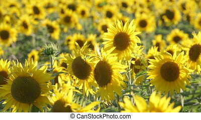 big field of the blossoming sunflowers lit with the bright...