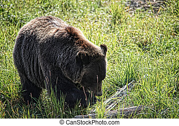 Grizzly Bear Foraging - Grizzly bear (Ursus arctos) in the...