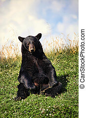 Black Bear Sitting in Clover Field - Black bear (ursus...
