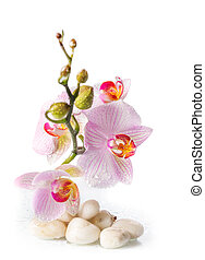 branch of pink orchids with zen stones on a white background