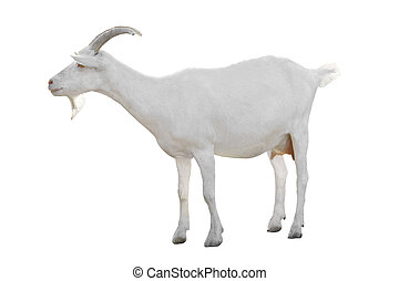 Goat  isolated on a white background