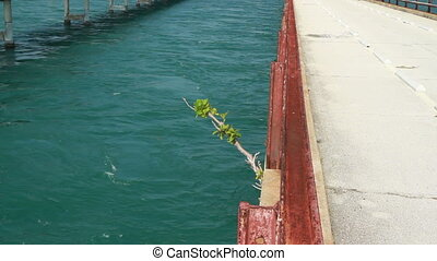 Mangrove growing out of old 7 Mile bridge - Florida Keys...