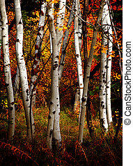 Fall Birch Trees - White fall birch trees with autumn leaves...