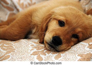 Little sad dog - little cute golden sad dog lying indoor