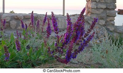 Sage flowers Salvia in wild Crimean peninsula Sea of Azov...
