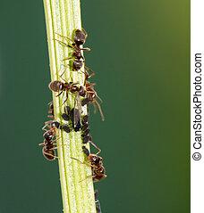 piolhos, e, formigas,