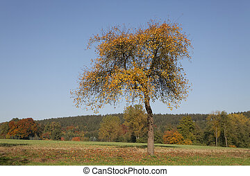 Cherry tree in October, North Rhine-Westphalia, Germany
