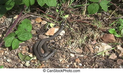 British grass snake slithering in a woodland clearing.