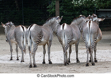 Zebras from behind - Zebras shot from behind, standing on...