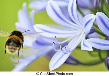 africano, Agapanthus, (Agapathus, africanus), con, bumble,...
