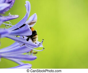 African agapanthus (Agapathus africanus) with bumble bee -...