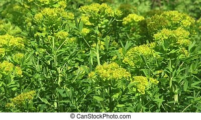 Marsh spurge Euphorbia palustris clusters of greenish yellow...