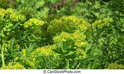 Marsh spurge, Euphorbia palustris - Marsh spurge Euphorbia...