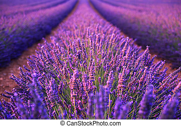 Lavender field in the summer in ValensoleProvence,France...