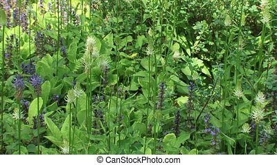 Spiked Rampion, Phyteuma spicatum, Black Rampion, Phyteuma...