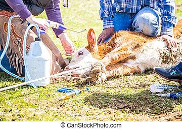 Branding newly born calves on the farm by cowboys