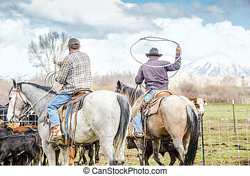 Cowboys catching newly born calves before branding them on a...